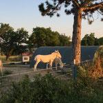 August 2016: Eselidylle am Zelt - wo im Winter die Schafe wohnen, sind im Sommer die Esel.