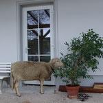 Unser altes Schaf hat Narrenfreiheit und darf rumrennen, wo es will.