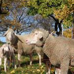 Schaffamilie - Bock, Mutter und Lamm - unter den Marillen