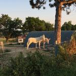 Die Esel sind im Sommer dort wo im Winter die Schafe wohnen - und genießen sichtlich die Abendsonne.
