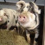 Mit einem Jahr sind unsere Turopolje Schweine schon über 100 kg und genießen auch im kalten Winter den Auslauf und die schöne Schweinehütte voller Stroh und Heu.