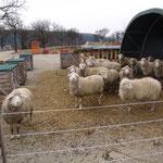 Die Schafe im Winterauslauf