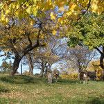 Schafe und Ziegen im Marillengarten