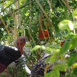 24.09.2016 Die Bronzeputen haben die Tomaten entdeckt. Wie praktisch: sie hängen genau in Schabelhöhe!