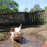 Suhlen ist wie Atmen, wenn man ein Schwein ist.