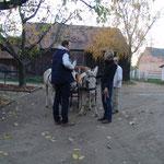 Nach der Bodenarbeit stehen die Esel an der Kutsche, um sich daran zu gewöhnen.