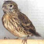 Gloster - gerade aus dem Nest geflogen