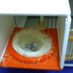 Nest mit 3 Eiern
