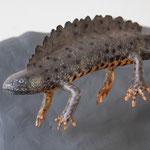 Triton crêté (Triturus cristatus - great crested newt) - taille x 1 - sculpture peinte - RTE Lyon-Jonage