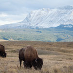 Two buffalos grazing in Waterton Lakes National Park, © Travel Alberta