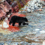 Bear in Red Rock Canyon, © Stevin Tuchiwsky @stevint