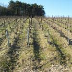 """Une vigne du Domaine, lieu dit """"Les Pissonnières""""."""