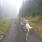 Mit 8 Hunden am Wagen im Nebel und bei Nieselregen unterwegs.