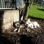 Smilla, Siri und Taiga geniesen die Sonne.