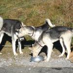 Timer und Taiga machen sich mit Barbaras Hunden bekannt...