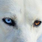 Timber's verschieden farbige Augen - immer wieder ein schönes Motiv!
