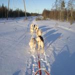 Für Keops, Kala und Niya waren die flachen, harten Trails zu schnell, deshalb war ich oft nur mit 7 Hunden unterwegs.