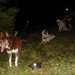 Etwa einen Meter neben den Hunden liegt ein frischer Pansen, der von Jägern zurückgelassen wurde. Soll noch jemand sagen, Grönis hätten keine Disziplin!!