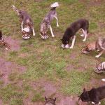 Fütterung, bei uns fressen alle Hunde gemeinsam