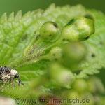 Cionus scrophulariae - Weißschildiger Braunwurzschaber