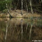 Krickenten im Löschteich, Wald Burgsittensen