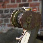 Schafstelze an der Sittenser Wassermühle