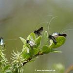 Langhornmotten