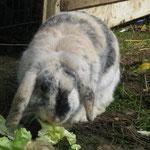 Schlaffinchen, auch sie war viel zu kurz bei uns... wahrscheinlich der Fuchs hatte sie bei einem Ausbruch erwischt. (+ 2011)