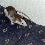 Bonnie und Clyde, meine ersten Ratten (+ 2005)