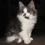 Akrobat Karmino Cat