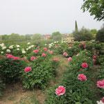 La fioritura delle peonie a Vitorchiano (aprile-maggio)