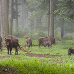 Nationalpark Bayerischer Wald: Wisente im Tier-Freigelände