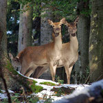 Nationalpark Bayerischer Wald (Foto Simonis): Hirsche