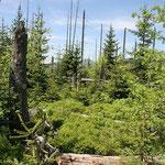 Nationalpark Bayerischer Wald (Foto Pöhlmann): Lusengebiet