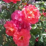 Haus Hildegard: Rosen und Borretsch