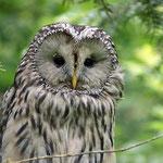 Nationalpark Bayerischer Wald (Foto Alice Alteneder): Habichtskauz