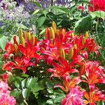 Haus Hildegard: Südostaufgang Feuerlilien