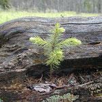 Nationalpark Bayerischer Wald: Neues Leben auf totem Baum