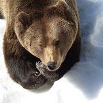 Nationalpark Bayerischer Wald (Foto Alice Alteneder): Bär im Schnee