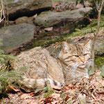 Nationalpark Bayerischer Wald: Wildkatze
