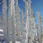 Nationalpark Bayerischer Wald (Foto Pöhlmann): verschneites Totholz