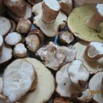 cueillette de cèpes en Aveyron