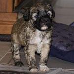 F-Wurf - Hündin Nr. 2 - Fiona - 4,5 Wochen alt