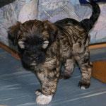 F-Wurf - Femi - 6 Wochen alt