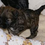 F-Wurf - Rüde Nr. 1 - 4 Wochen alt