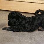 F-Wurf - Rüde Nr. 2 - Yeshi - 5 Wochen alt