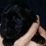 Rüde Nr. 2 - Black-and-tan-Boy - 2 Wochen alt