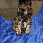 F-Wurf - Mon-sha - 8,5 Wochen alt