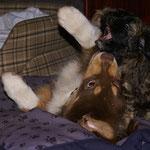 F-Wurf - 8 Wochen alt - Mon-sha und Aussie Nigel