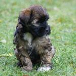 F-Wurf - Femi - 7 Wochen alt